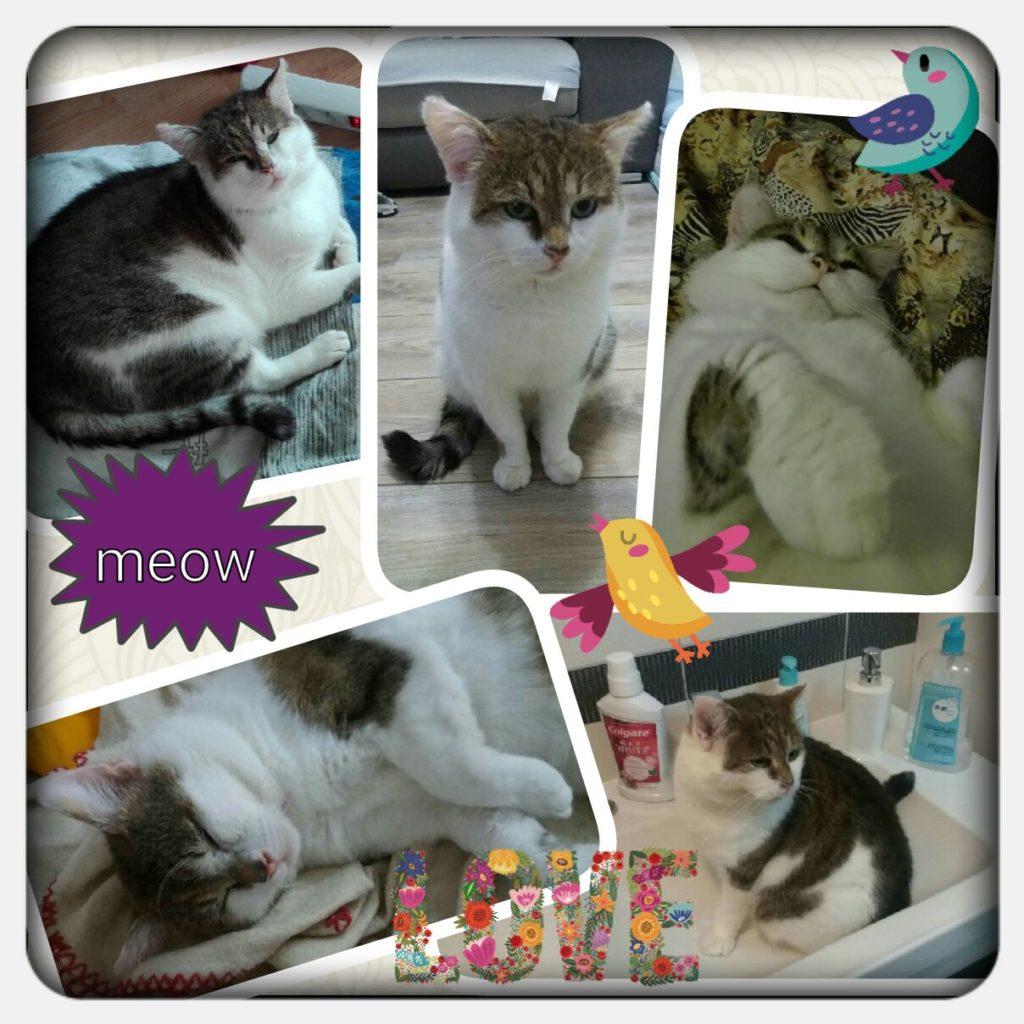 fotokoláž kocour Felix člen týmu agentury na hlídání koček Meow-sitting