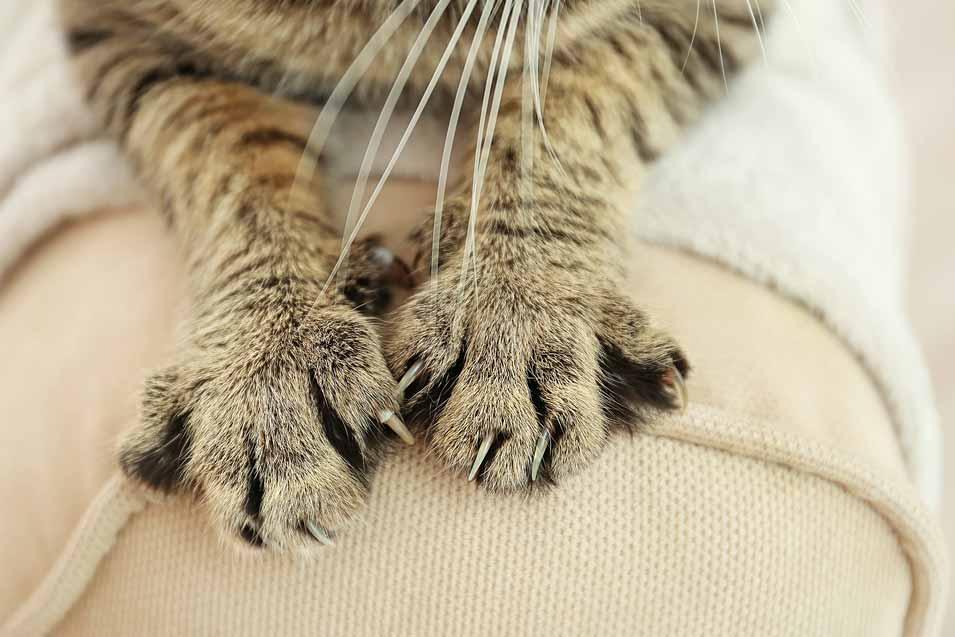 Kočka zarývá drápky do sedačky a ničí nábytek