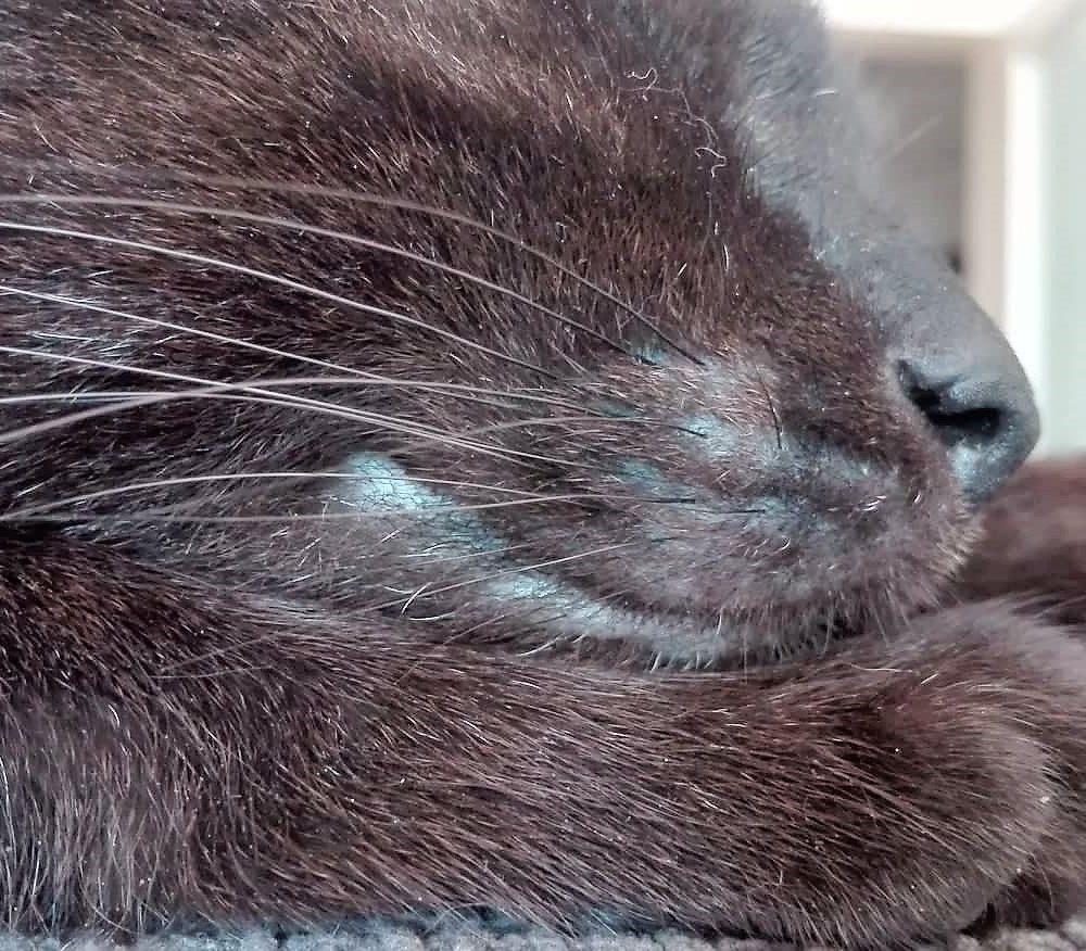 kočka v detailu - hmatové vousy a čumáček