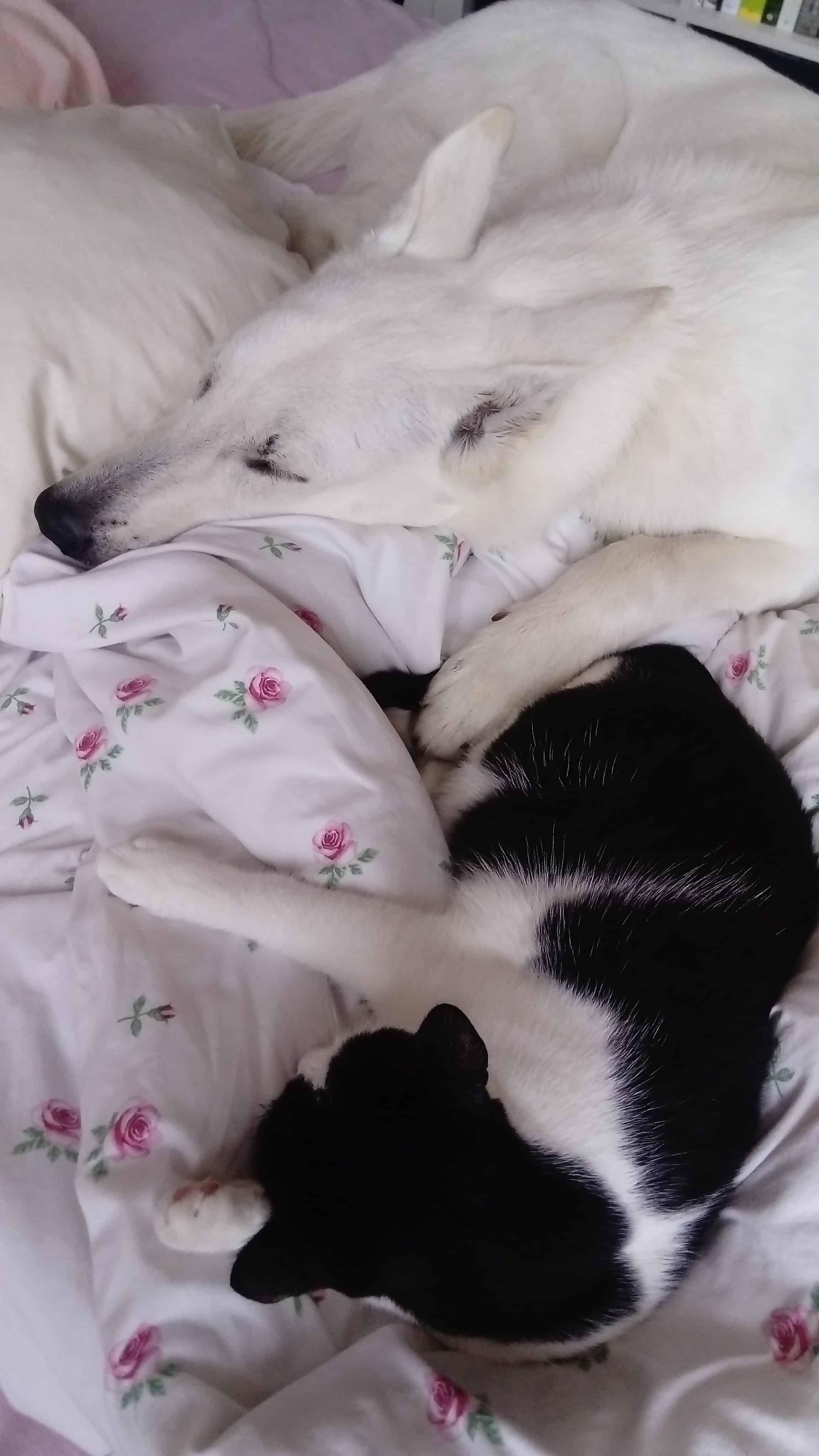 Jany kočka Mia a štěně švýcarského ovčáka